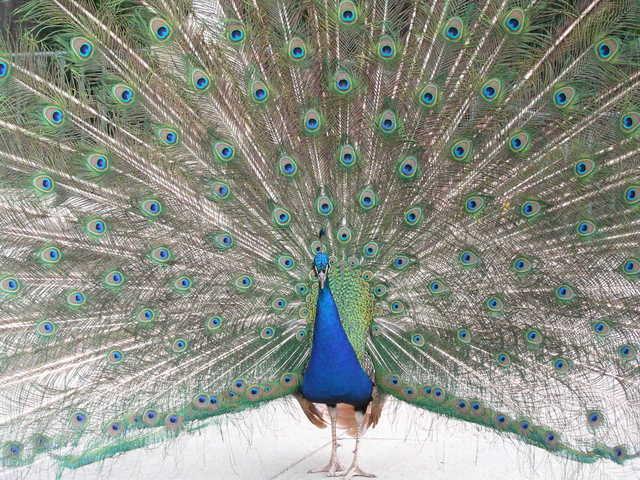 peacock-1373645-640x480